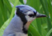 Being clever and adaptable birds, Blue Jays are good survivors