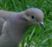 Mourning_dove_thunb