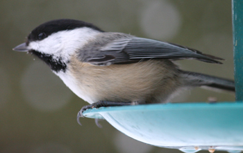 During the fall migration and winter, chickadees often flock together.