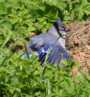Blue Jays reside over a very large area of the eastern side of North America