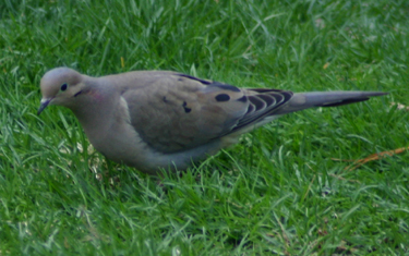 Mourning Dove The Mourning Dove (Zenaida macroura) is a member of the dove family