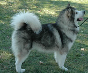 alaskan malamute one of the oldest Arctic sled dogs, is a powerful and substantially built dog