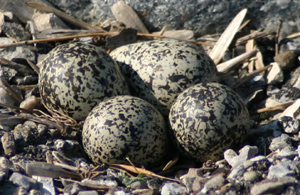 killdeer eggs