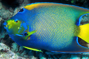 the queen angelfish will bite at or eat corals and clams and sponges.