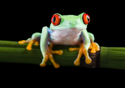 Red Eyed Tree Frogs are an arboreal species