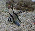 banggai cardinalfish are reef compatible