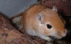 Gerbils are typically larger than mice, but smaller than rats.