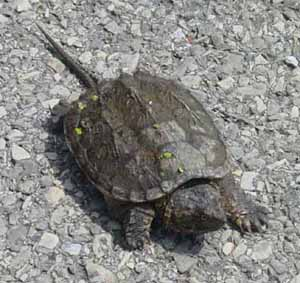 young snapping turtle