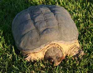 picture of adult snapping turtle