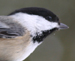 Black capped Chickadee thumb