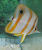Copperband Butterflyfish thumbnail