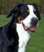 Greater Swiss Mountain Dog thumbnail