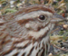 song sparrow thumb